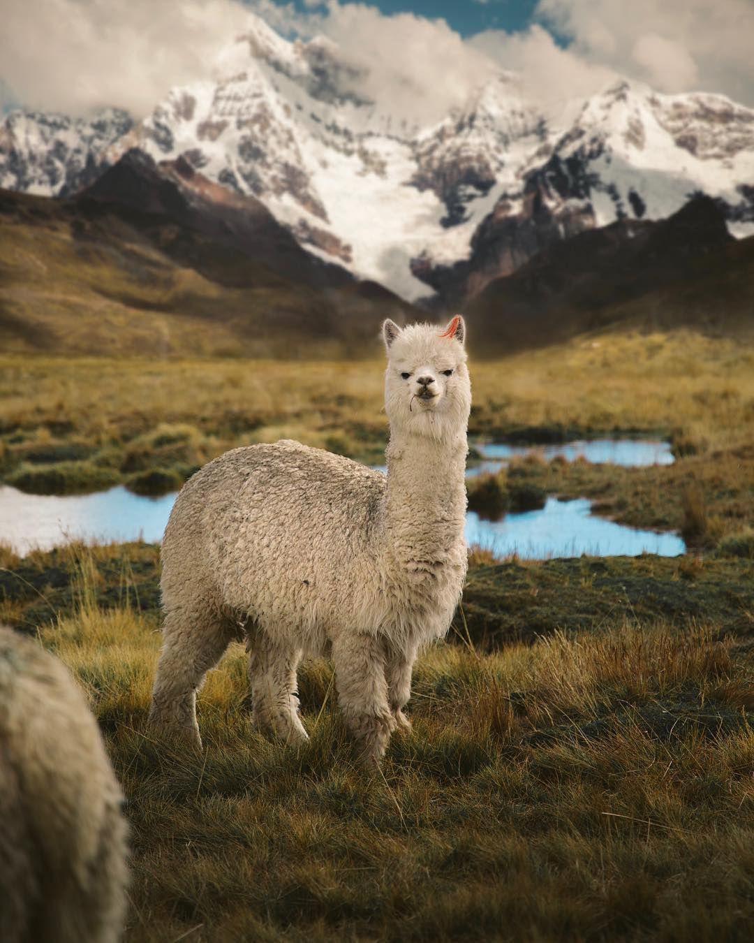 Pin by Nicole Zimmers on Animals Peru, Animals beautiful
