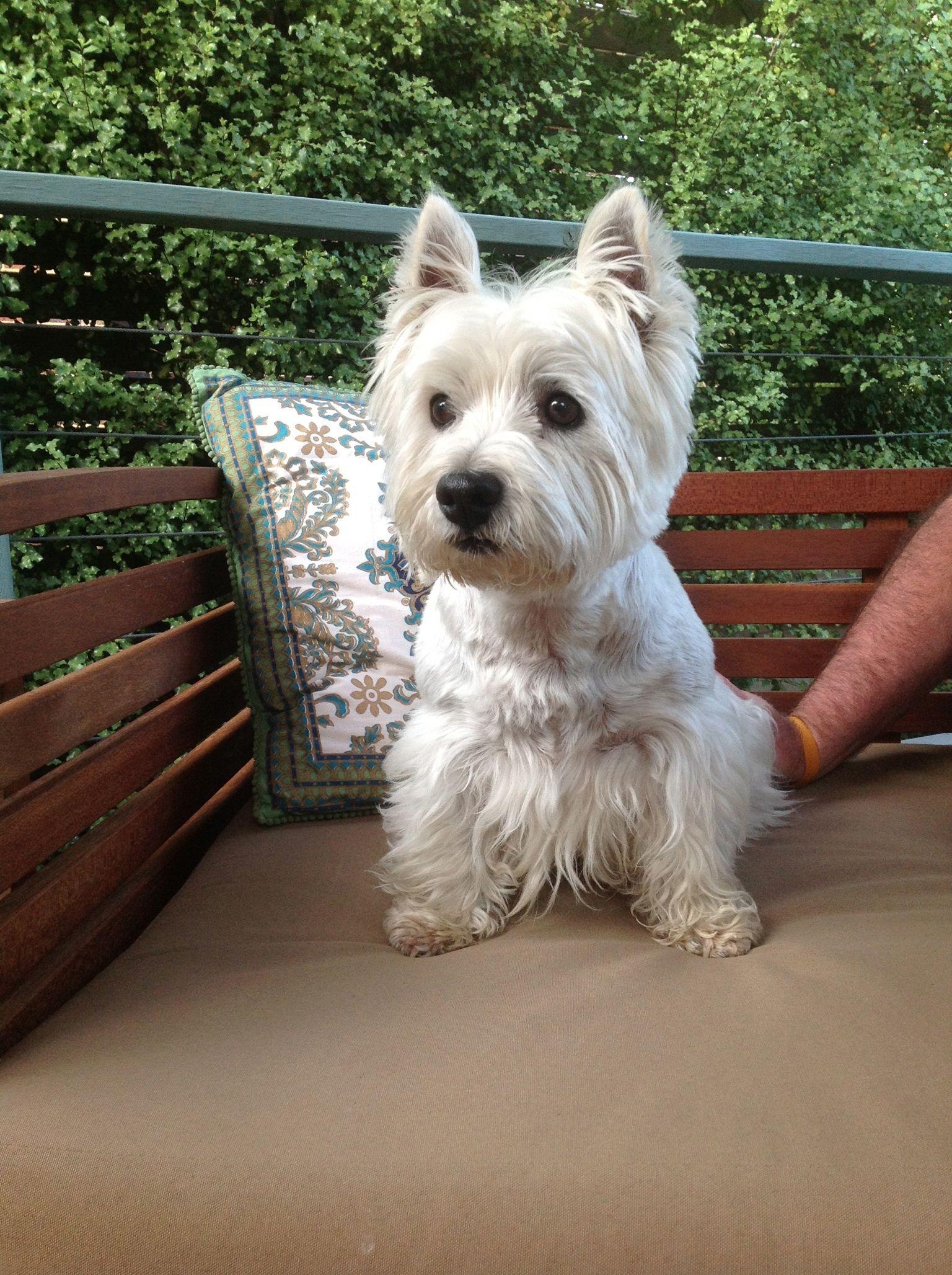 Sweet B0y Westie Westie Puppies Cute Dogs Breeds Westie Terrier