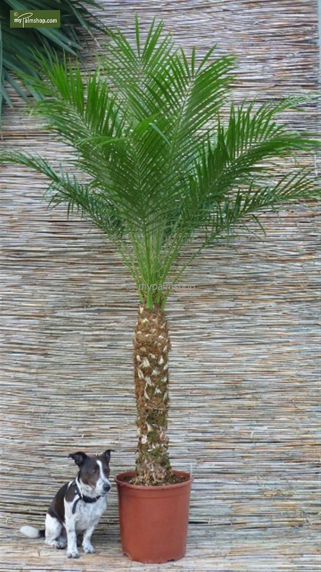Les 25 meilleures id es de la cat gorie palmier phoenix for Yuka plante exterieur