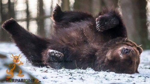 Ein Braunbär liebt es, sich im Schnee zu wälzen.
