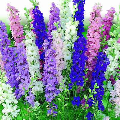 Pacific Giants Mixed Colors Delphinium Perennial Seeds Delphinium Elatum Delphinium Perennials Hardy Perennials