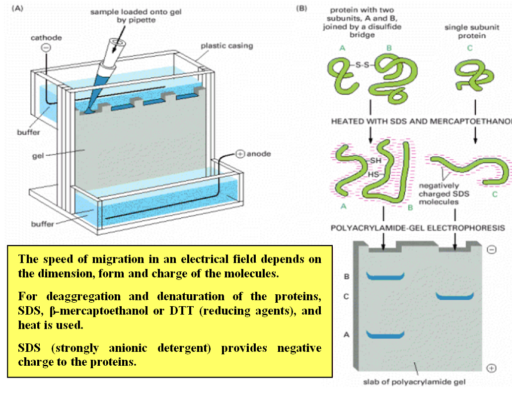sds page sodium dodecyl sulfate polyacrylamide 2015-9-28 lab #11: sodium dodecyl sulfate polyacrylamide gel electrophoresis (sds-page) analysis of proteins goals of lab: analyze the purity of samples from the protein purification by separating protein.