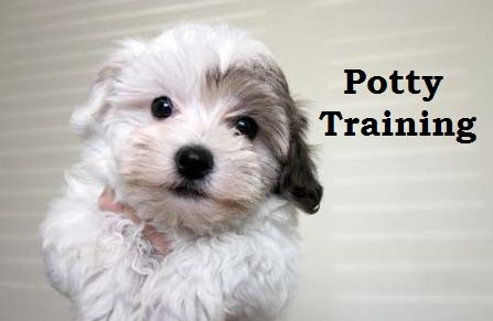 Havanese puppies how to potty train a havanese puppy for Dog potty training problems