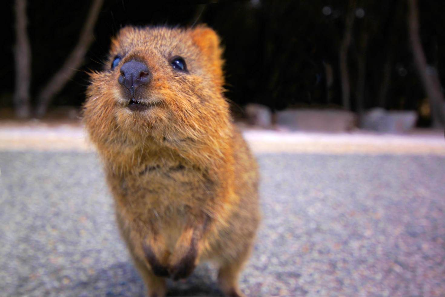 Quokkas on Rottnest Island, AUSTRALIA. The first European to lay eyes on a quokka, in 1658, described it as 'a kind of rat as big as a common cat'. The critters are only found in a small area in Western Australia, flourishing on Rottnest Island where numbers have swollen to 12,000.