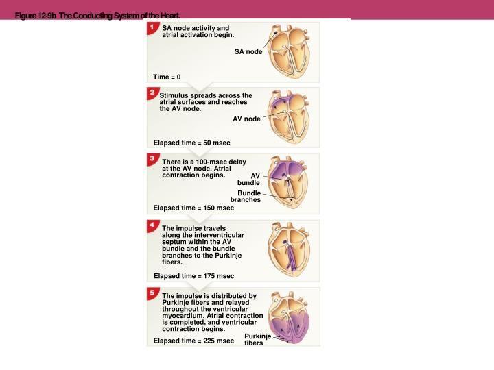 Image result for impulse across heart elapsed time