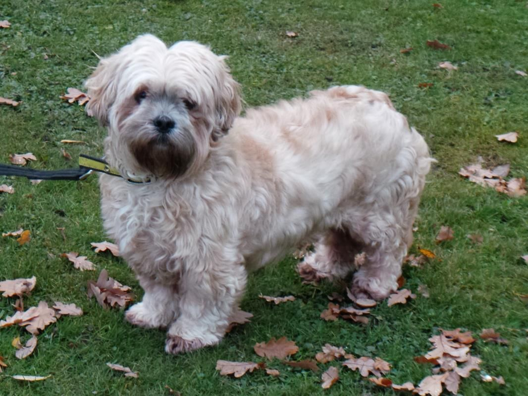 Adopt A Dog Pippa Lhasa Apso Dogs Trust Dog Adoption Dogs