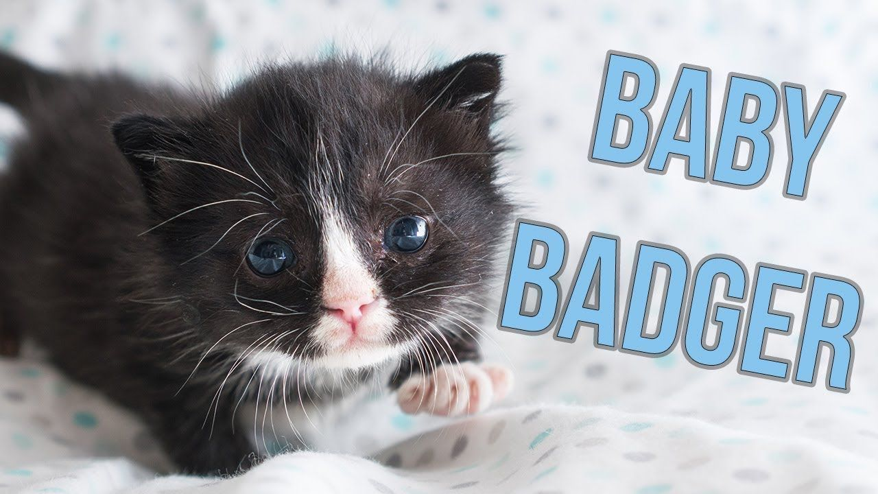 Update Badger The Hot Mess Kitten Kitten Lady Youtube Aww Reminds Me Of My Rough Gut Kitten Named Badger Because He Wa Kitten Kitten Care Baby Badger