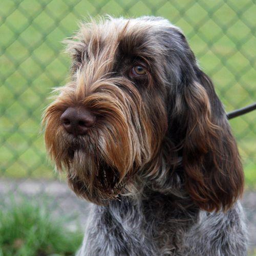 Jaylynne Phoebe Italian Spinone Beautiful Dogs Dogs Purebred