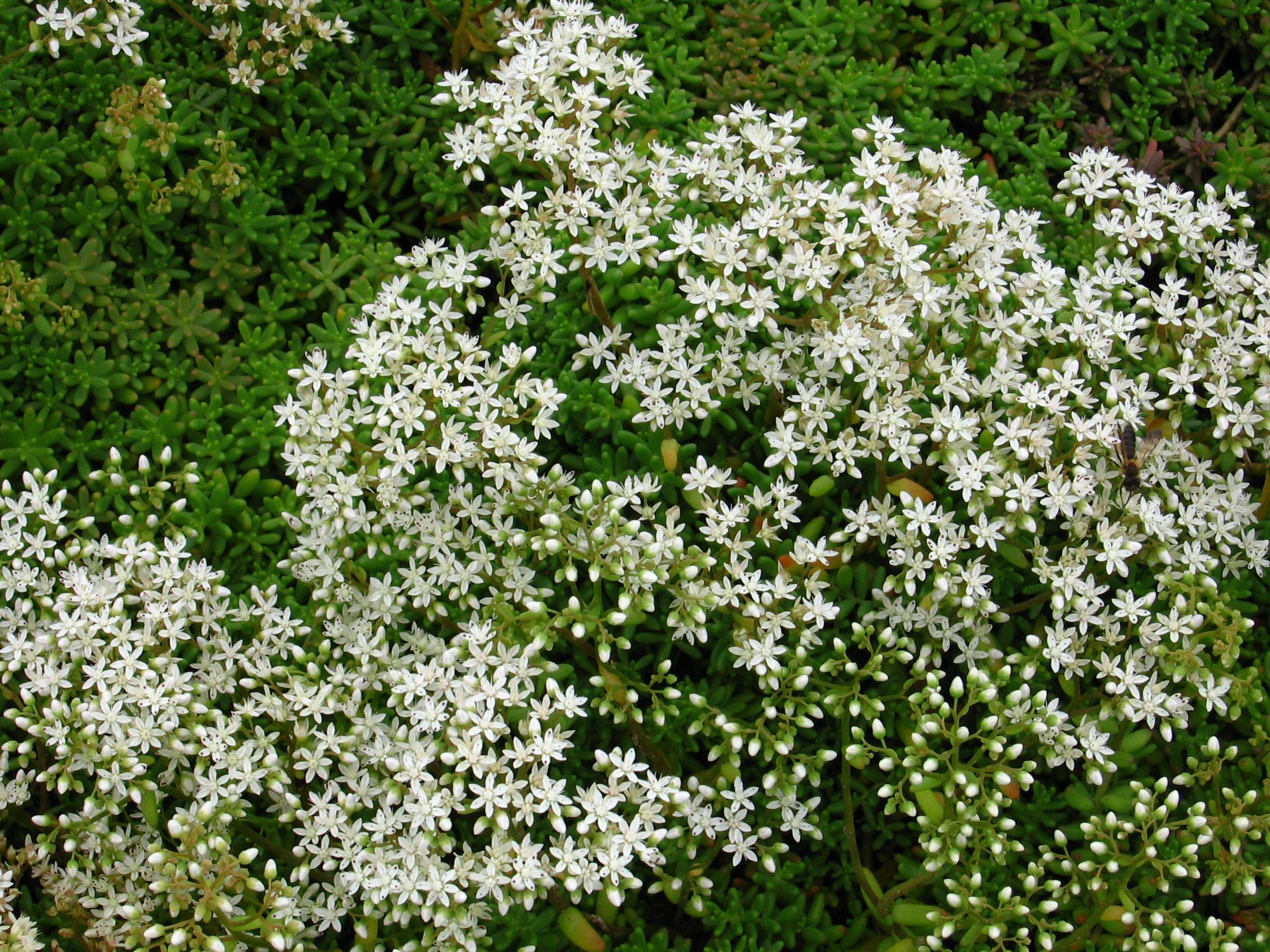 Plante A Planter En Septembre sedum album - (septembre - octobre) | plante pour talus