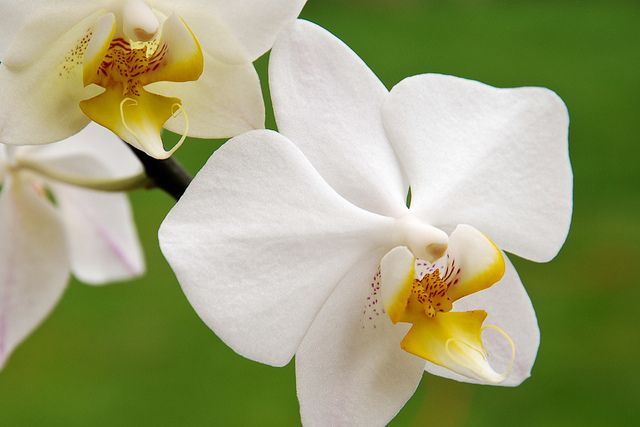 National Flower of Indonesia – Moon Orchid