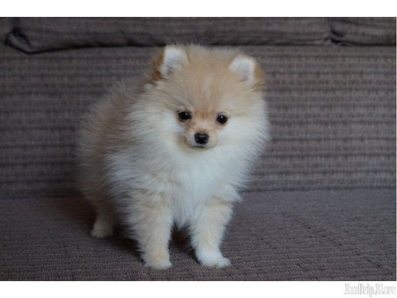 List of Pinterest pomeranian for sale pictures & Pinterest
