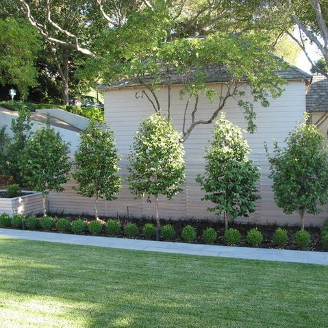 Row Of Pear Trees Alonf Fence Backyard Great Landscaping Ideas