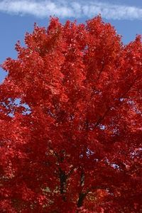 Common Trees In New Jersey Red Oak Tree Trees To Plant Oak Tree