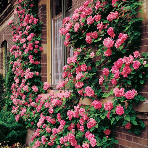 Zephirine Drouhin Climbing Rose Shade Tolerant Thornless Xlimbing Roses For The Patio S South