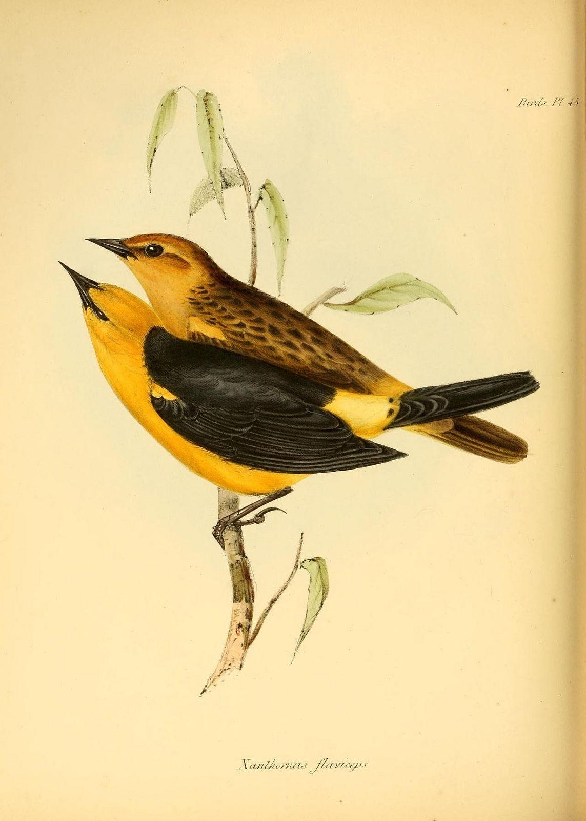 N295 W1150 Vintage Bird Illustration Bird Illustration Zoology