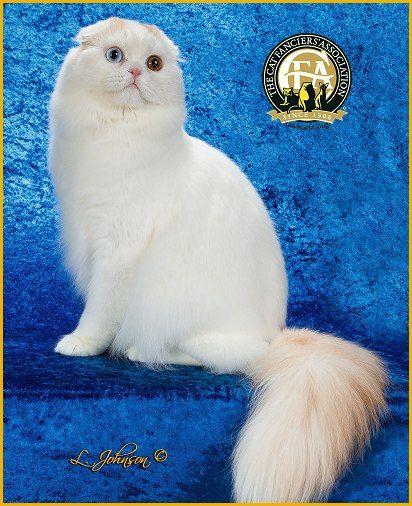 Gc Bw Nw Rumin Benedict Mio Mio Cameo Tabby White Van Male Longhair Scottish Fold 5th Best Cat In China Koshki