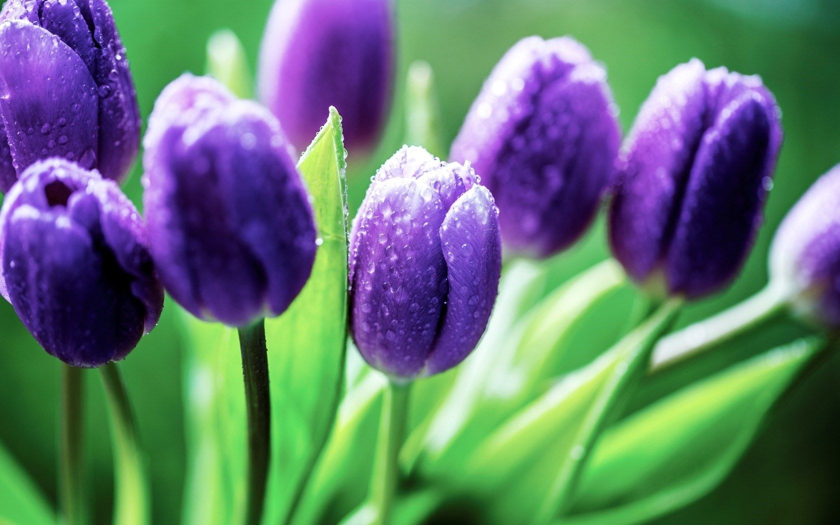 Find Out Purple Tulips Wallpaper On Hdpicorner