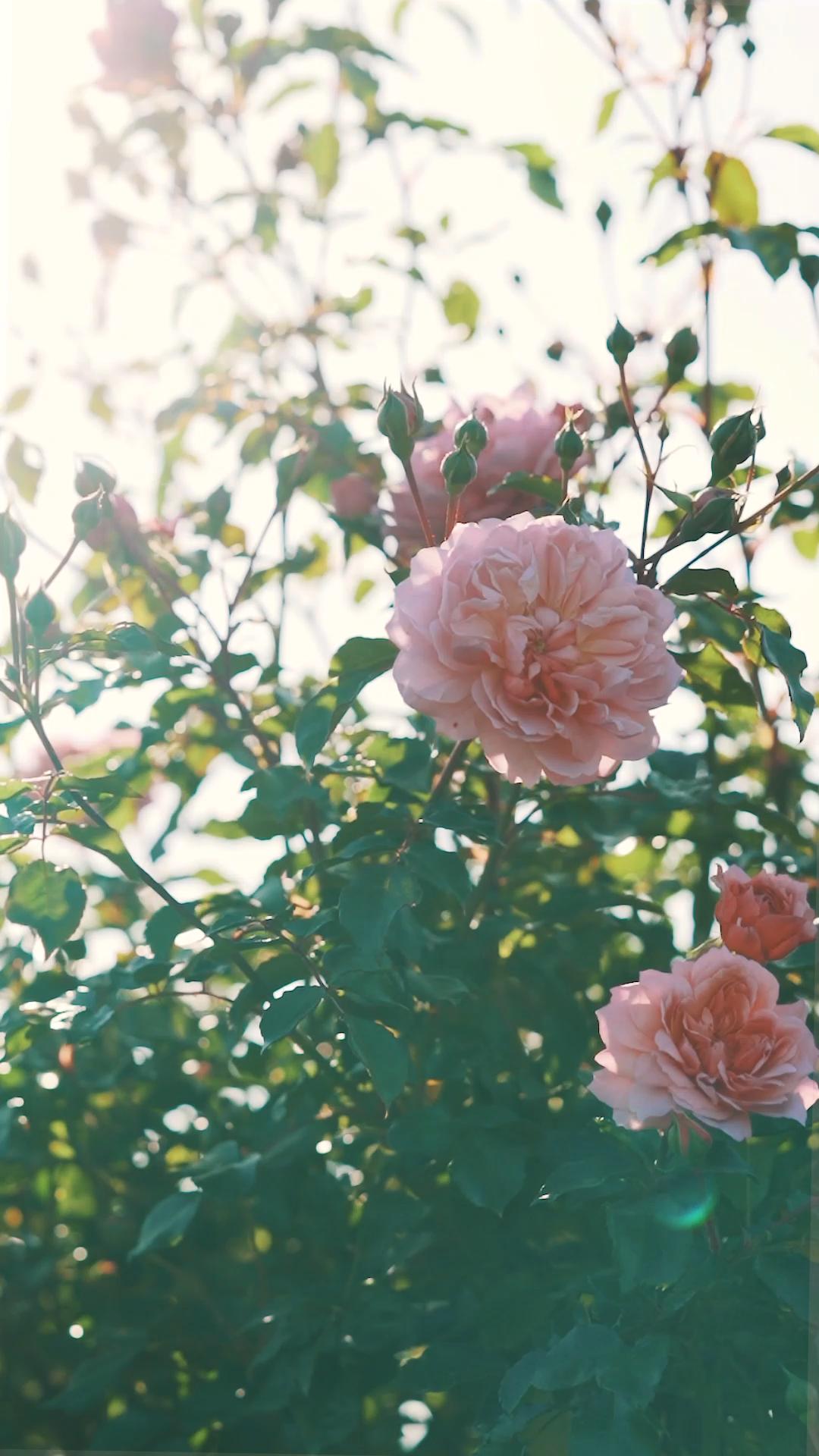David Austin Rose Garden