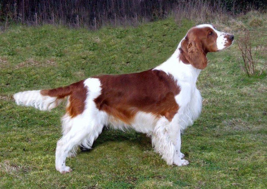 Welsh Springer Spaniel Origin Uk Http Puppies Host Puppies Spaniel Breeds Welsh Springer Spaniel Sporting Dogs Breeds