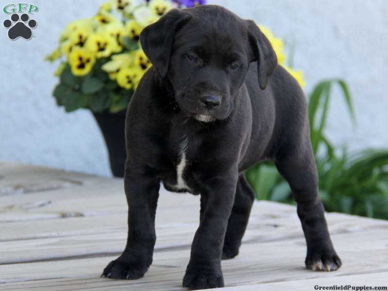 Labrador Corso Mix Cute Baby Animals Cute Puppy Pictures Puppies