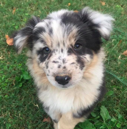 Have You Been Thinking About Adopting An Aussie This Is Your Sign Click Here To Find Out More About Australian Shepherd Breeders Australian Shepherd Puppy