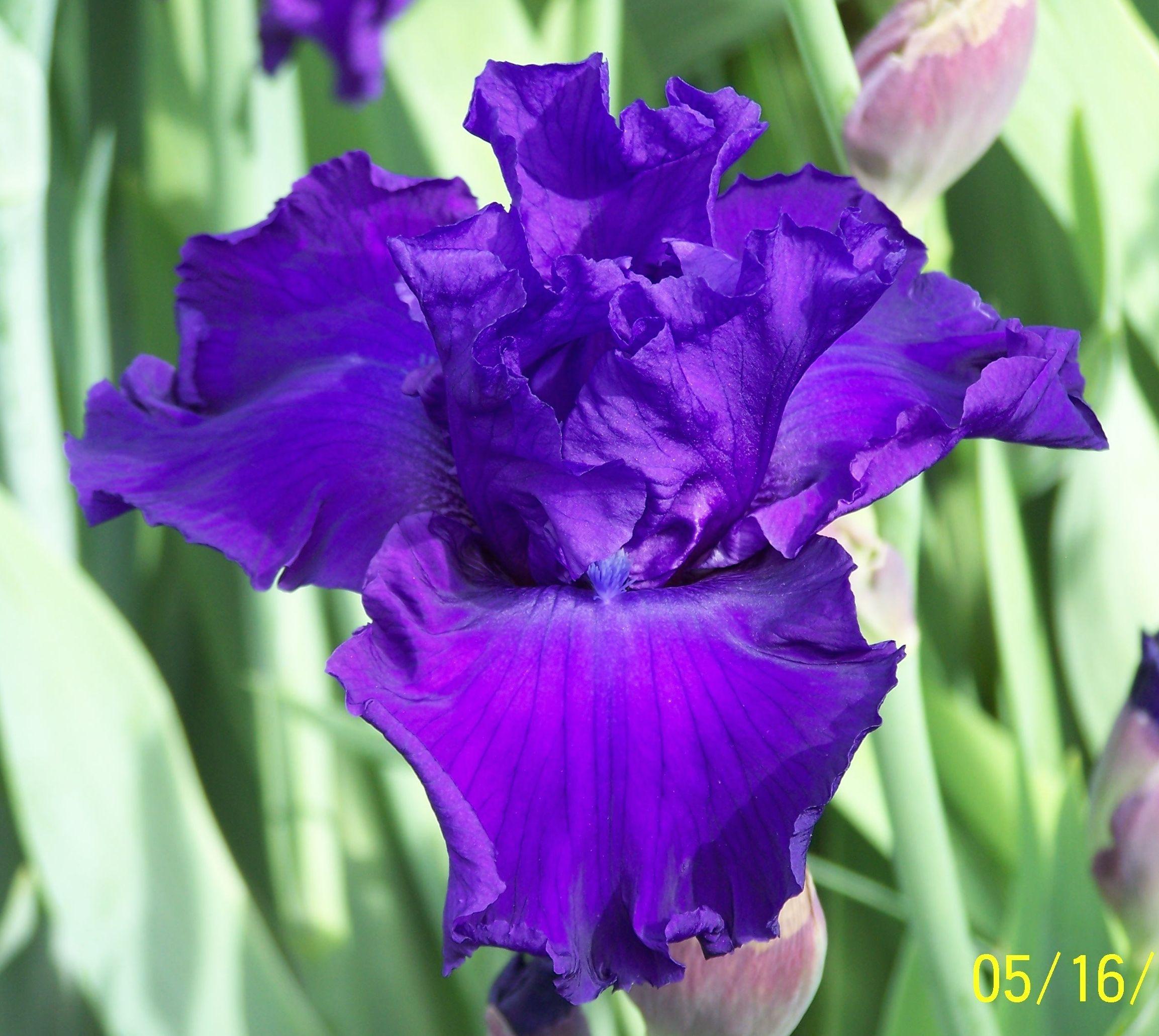 TB Iris germanica 'Southern Thunder' (Mullin, 2001)