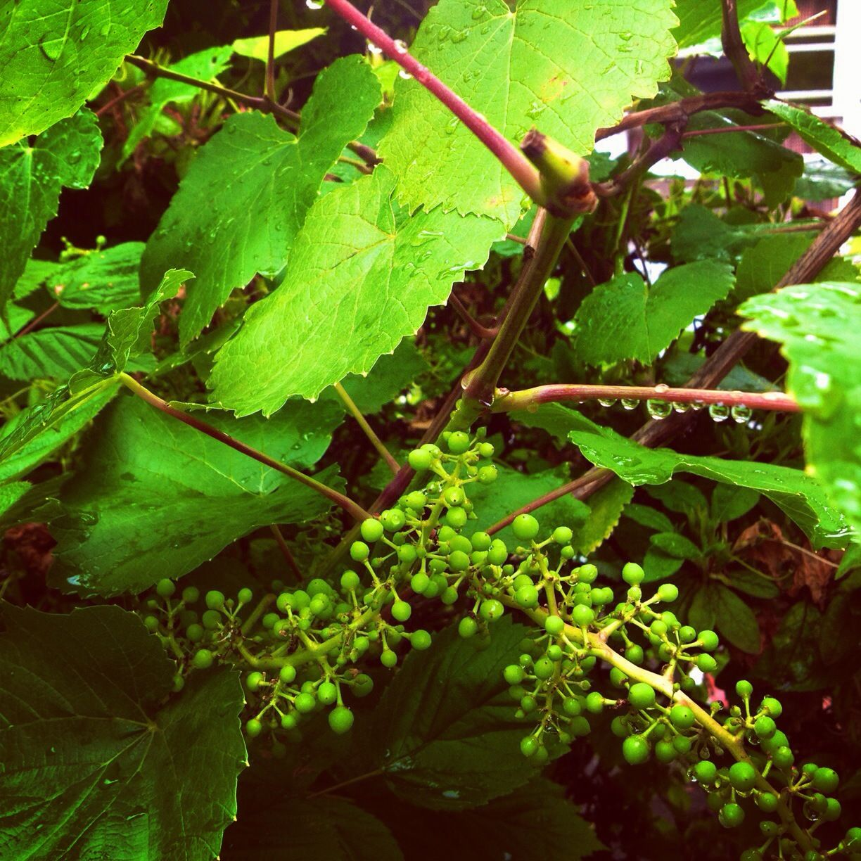 How To Grow And Prune Grape Vines