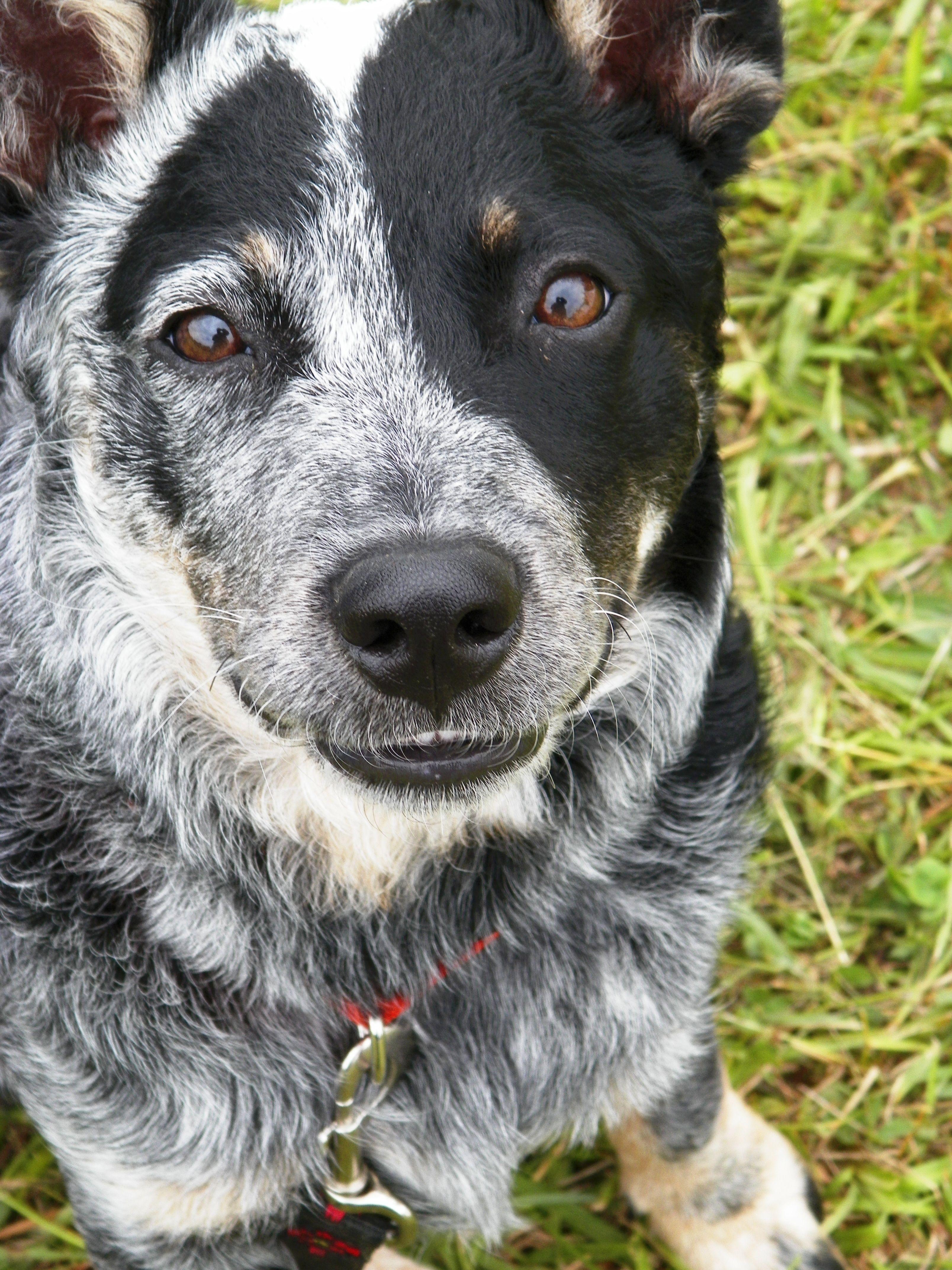 Turbo, Smiling. my Blue Heeler (Austrailian Cattle Dog) pup