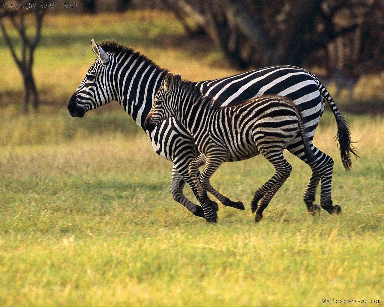 Mom And Baby Zebras Running Together Animals Beautiful Animals Wild African Animals