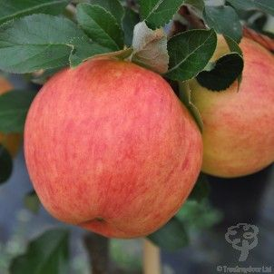James Grieve Apple Tree Gift Apple Tree Apple Trees To Plant