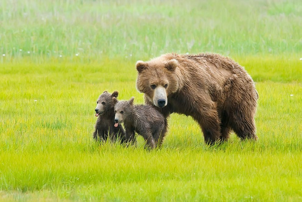 Cubs makin' faces when Momma Bear is not looking :P