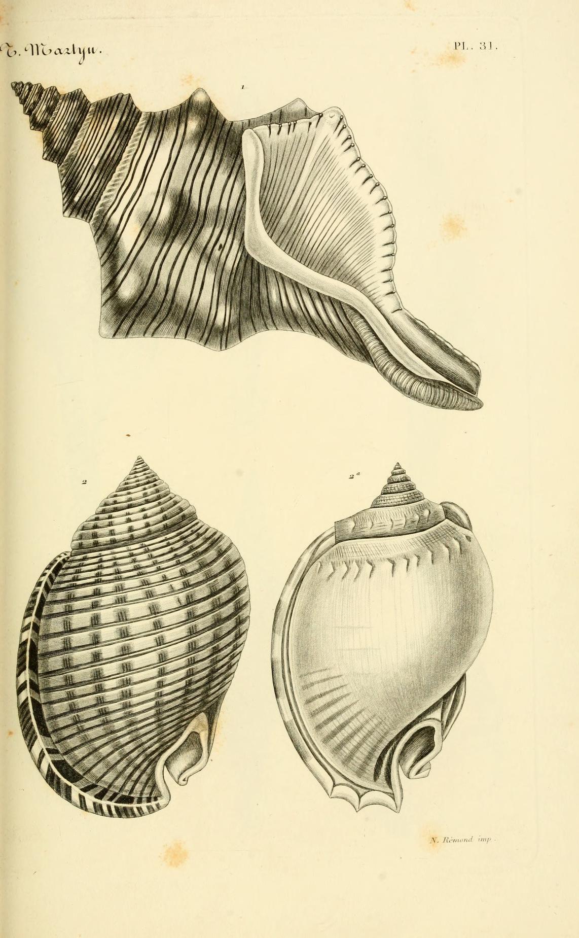 Le Conchyliologiste Universel Ou Figures Des Coquilles Jusqu A Present Inconnues Recueillies En Tatouages De La Vie Marine Coquillage Dessin Art Coquillage