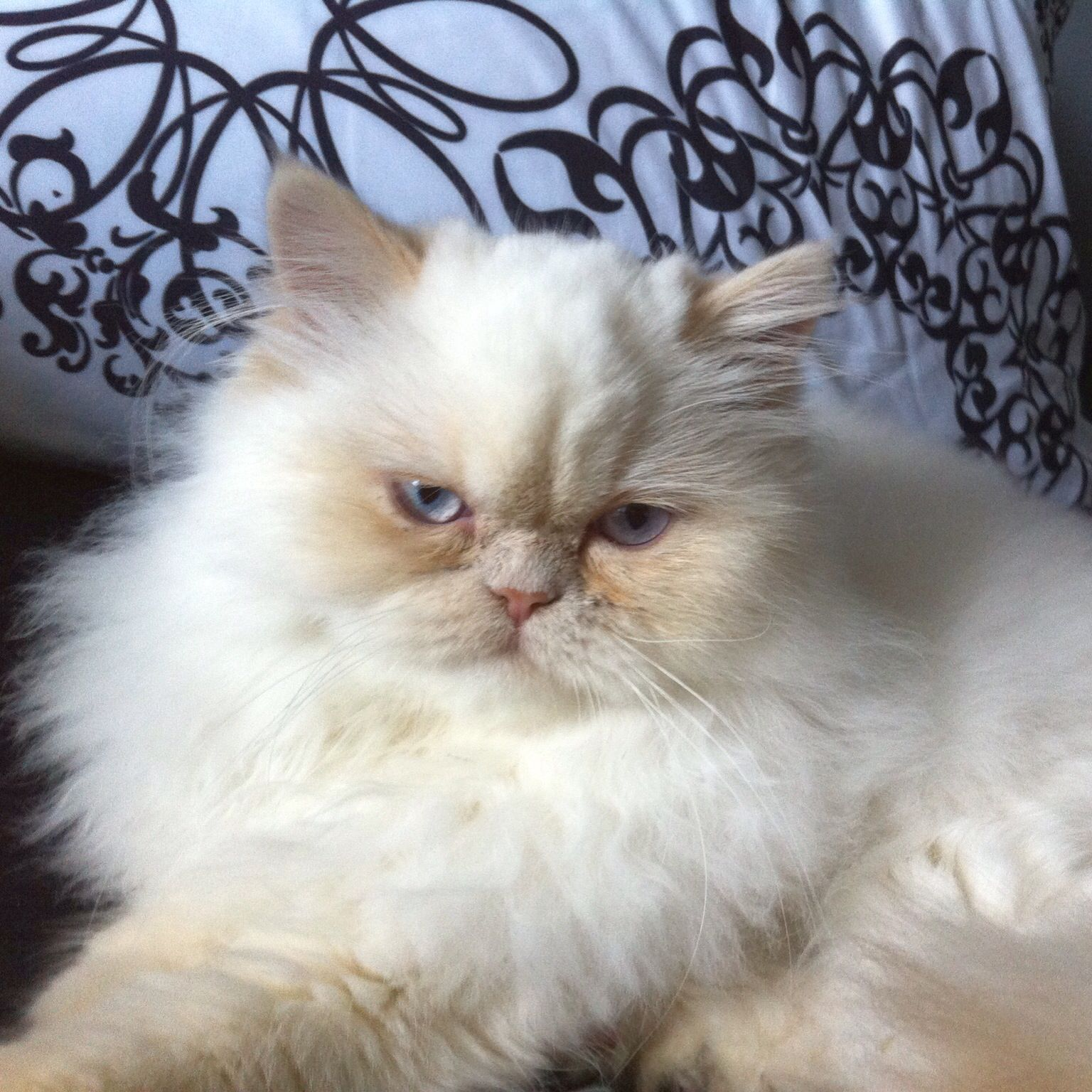 Cream point himalayan dollface , his name is Jack