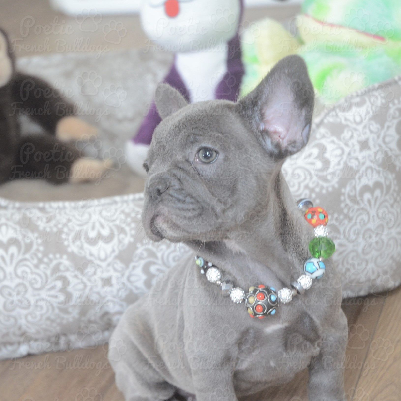 Available Puppies French bulldog puppies