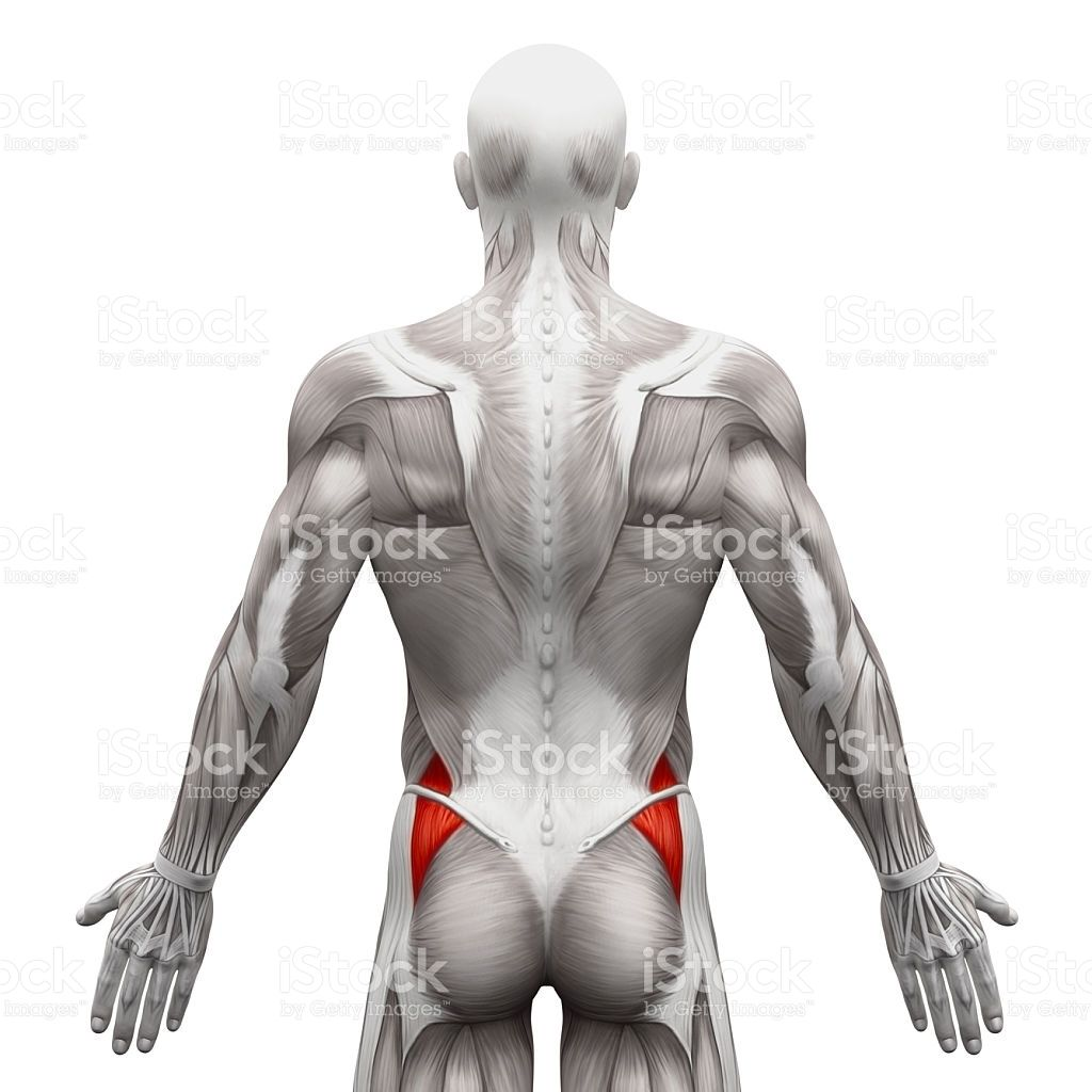 Gluteus Medius - Anatomy Muscles isolated on white - 3D illustration ...
