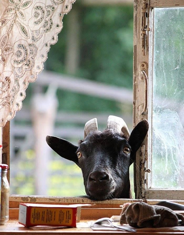when a goat comes calling