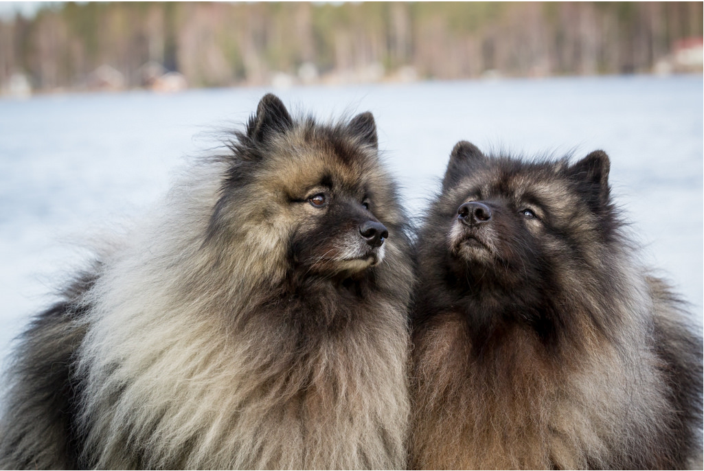 Keeshond Keeshond Keeshond Puppy Fox Pups