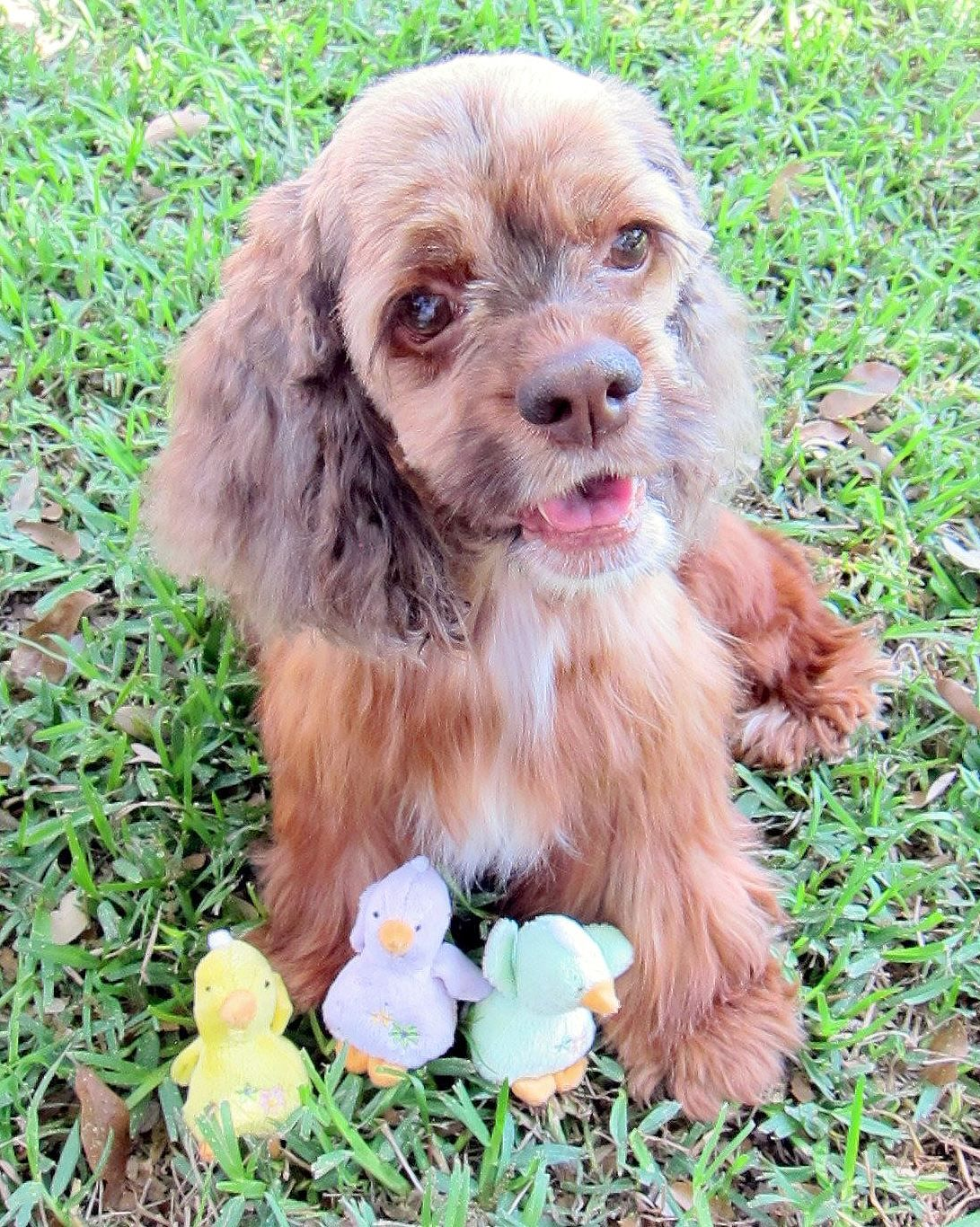 Mirabella An Adoptable Cocker Spaniel In Austin Tx Www