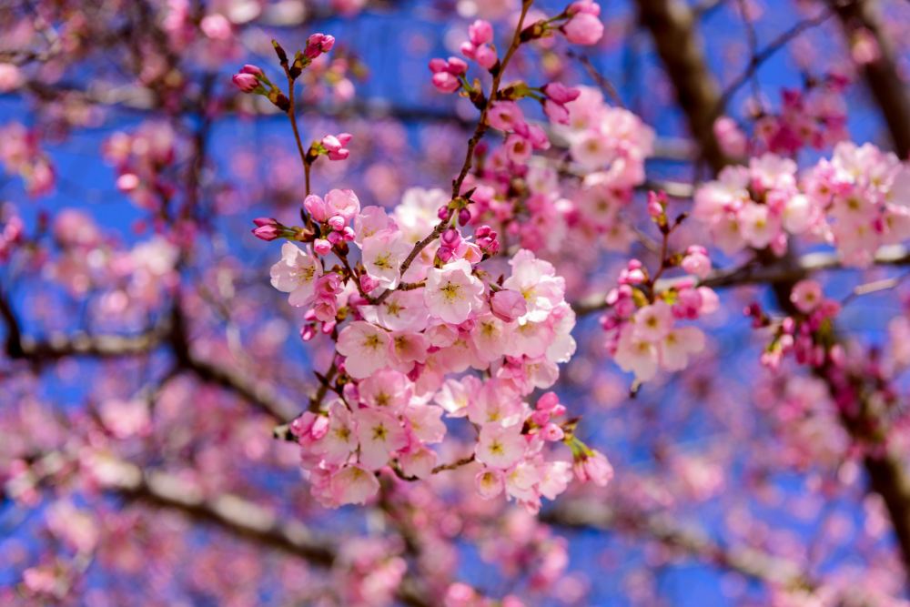 Where To Chase Cherry Blossoms This Spring Origin And History In Densely Populated Countries Such A Blossom Flower Cherry Blossom Cherry Blossom Festival
