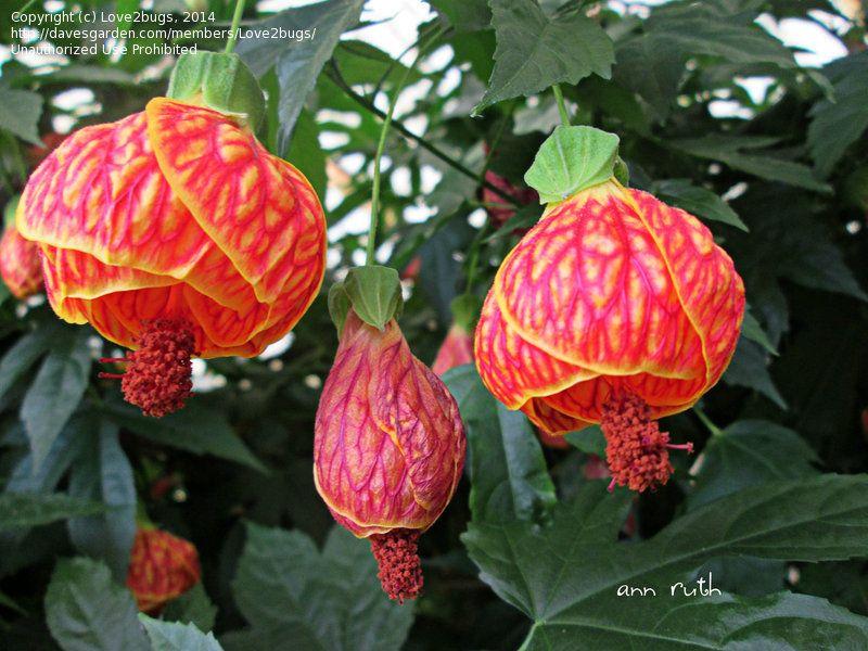 Full Size Picture Of Abutilon Flowering Maple Tiger Eye I