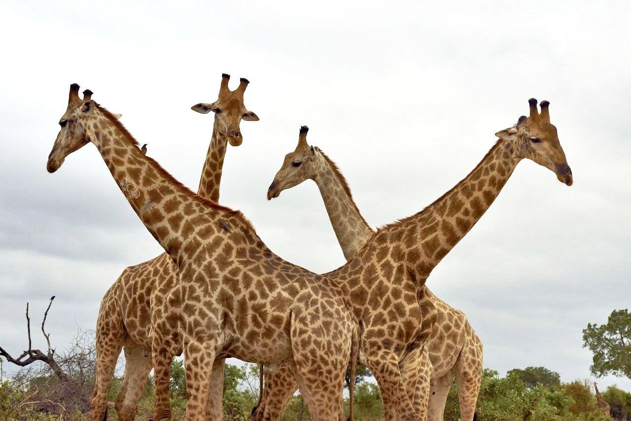 four Giraffes, close together, inside Kruger N.P., South Africa