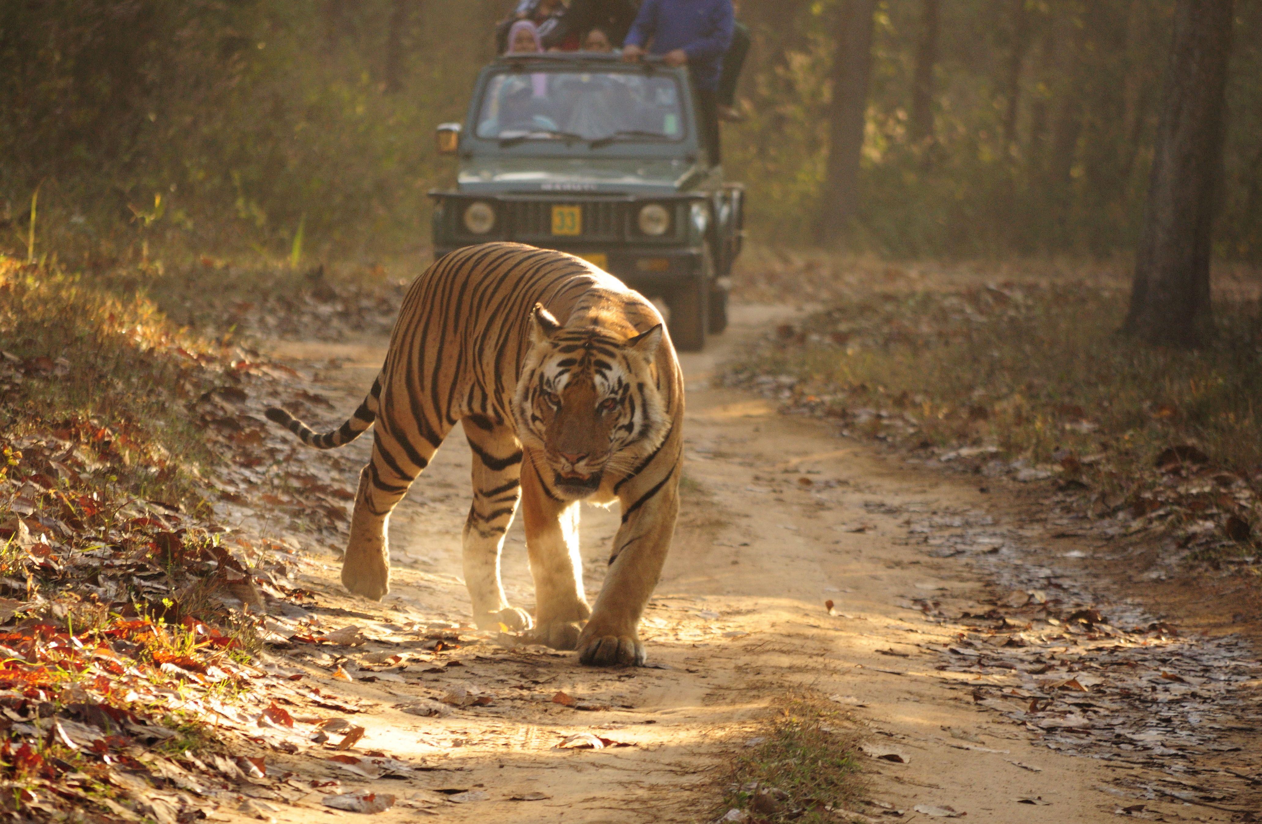 Royal Bengal Tiger in Kanha Tiger Reserve, India