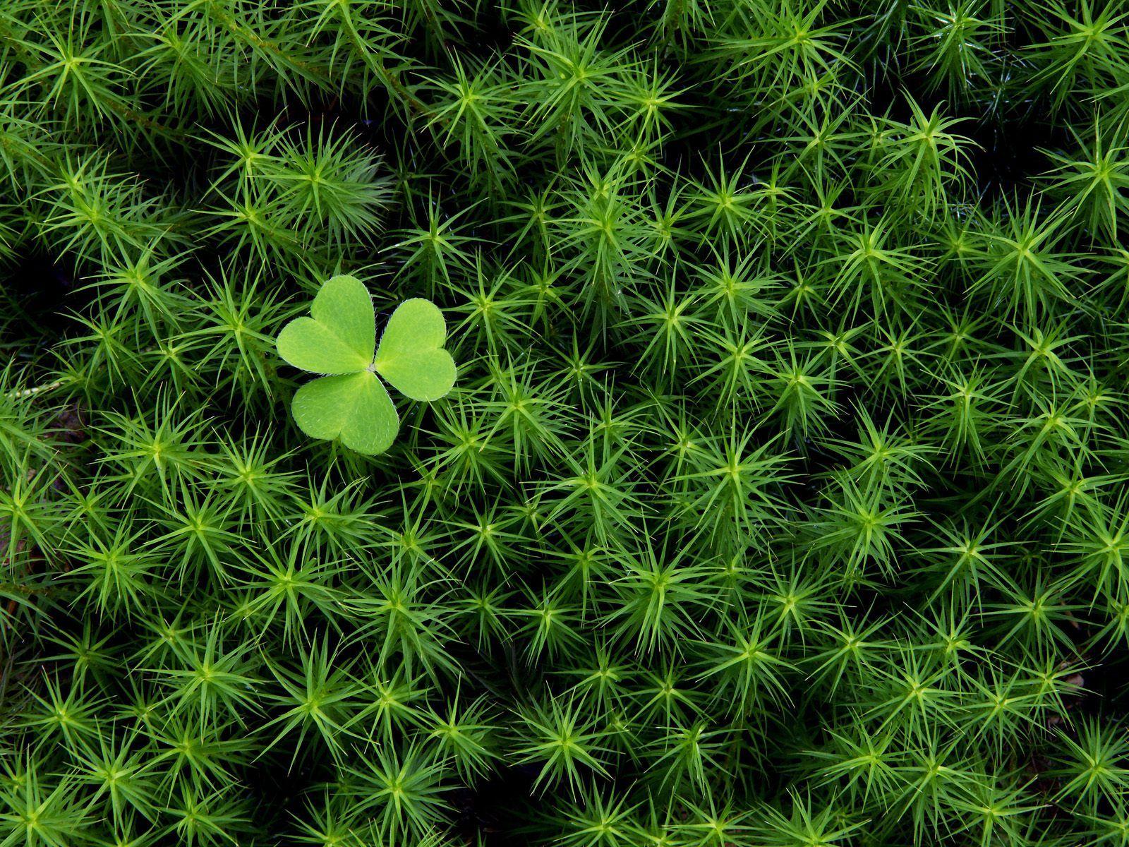 One Small Green Shamrock Moss Irish Moss Irish