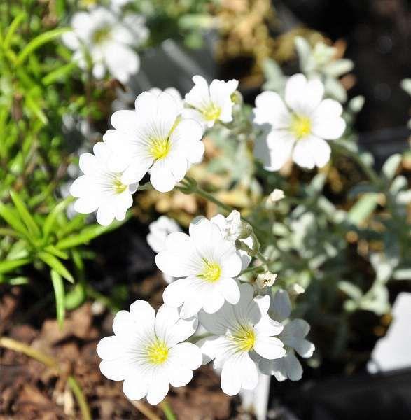 Cerastium tomentosum 'Columnae', Hoornbloem, Viltige hoornbloem