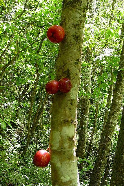 Mountain Apple Tree Rose Apples Fruit World Fruit Garden Beautiful Fruits