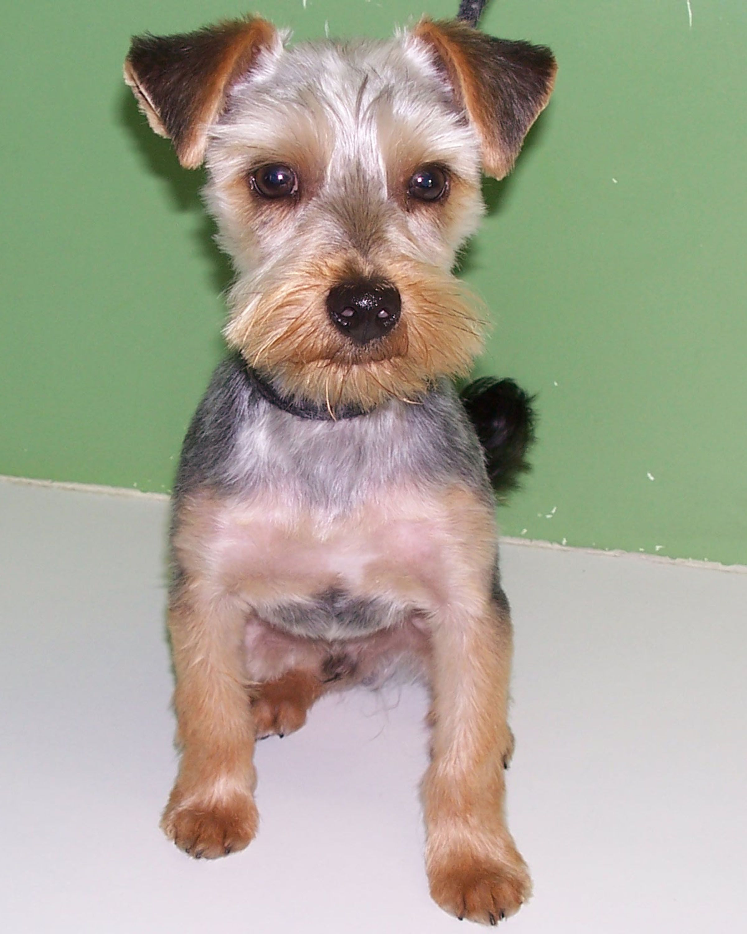 Terrier Haircuts : terrier, haircuts, Short, Yorkie, Terrier,, Yorkshire, Terrier, Puppies,