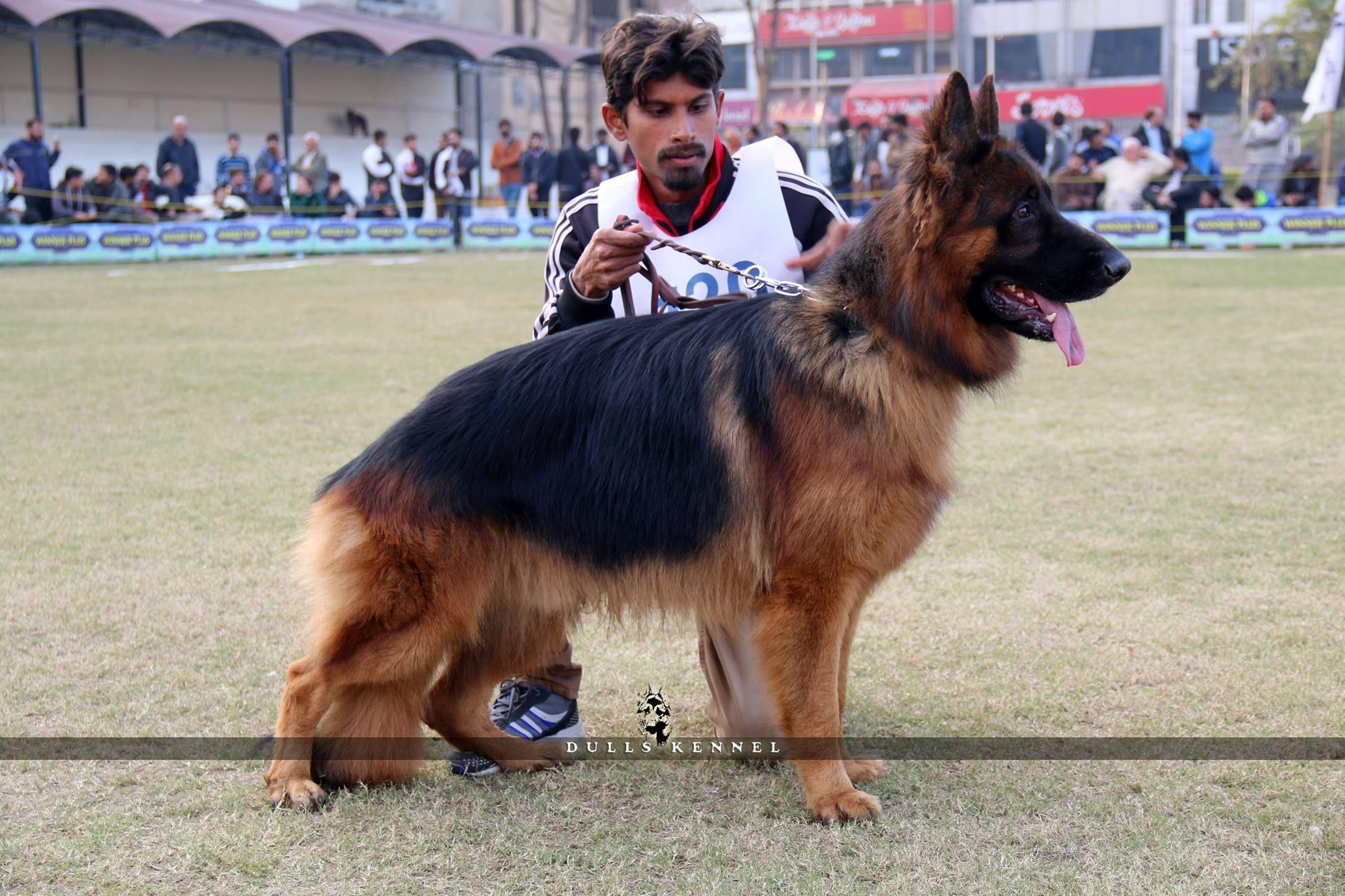 German Shepherd In Pakistan By Ch Rjr German Shepherd Shepherd