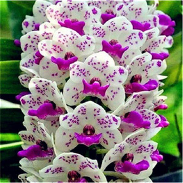 100pcs Rare Cymbidium Orchid Seeds