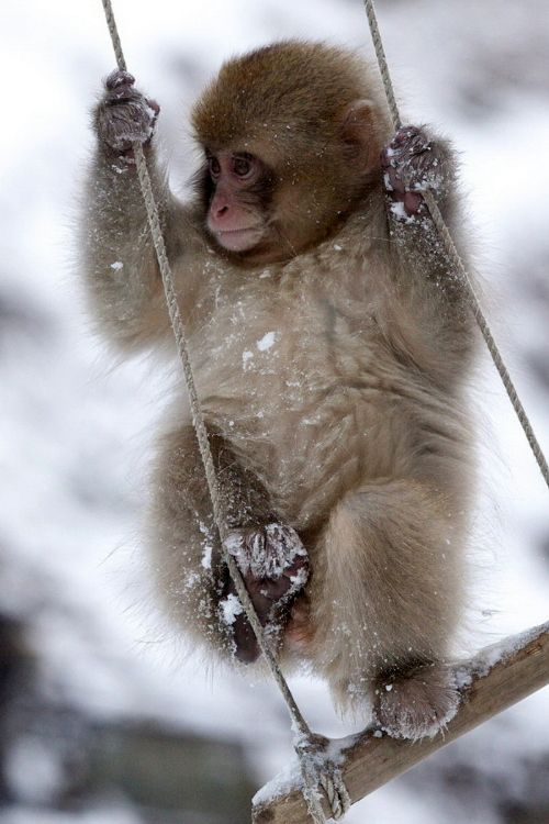 theperfectworldwelcome:  expressions-of-nature:  Japanese Macaque by Masashi Mochida  Beautiful !!! \O/