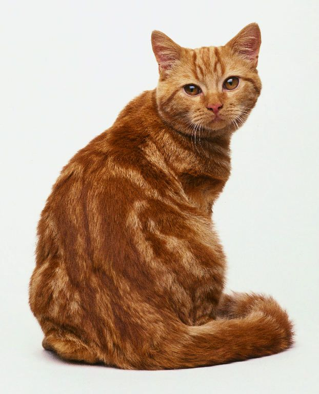 British Shorthair Red Tabby Fluffy Cat Breeds Fluffy Cat Pretty Cats